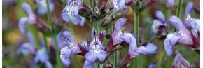 Salvia lavandulifolia, Sauge à feuille de lavande