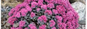 Plantes vivaces - Sedum
