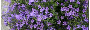 Plantes vivaces - Campanula - Campanule