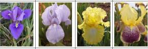 Iris - Collections d'Iris