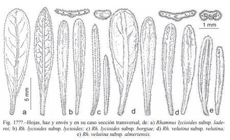Dessins de feuilles des sous espèces de Rhamnus lycioides