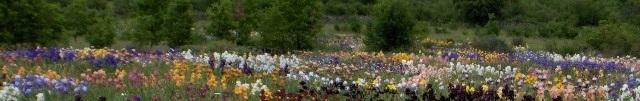 Champs d'iris en fleurs