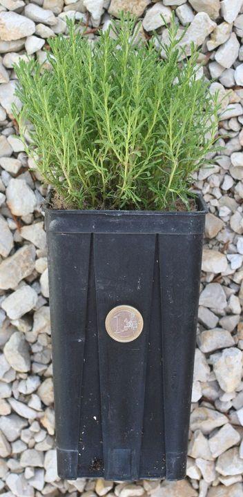 Taille d'une plantes à la vente